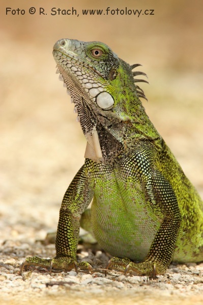 Lizards - Green Iguana (Iguana iguana)