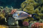 Red Sea Clown Surgeon (Acanthurus sohal)