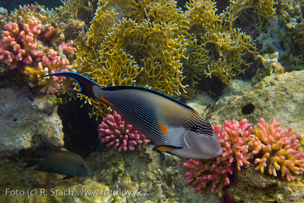 Fish - Red Sea Clown Surgeon (Acanthurus sohal)
