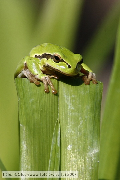 Amphibians - Common Tree Frog (Hyla arborea)