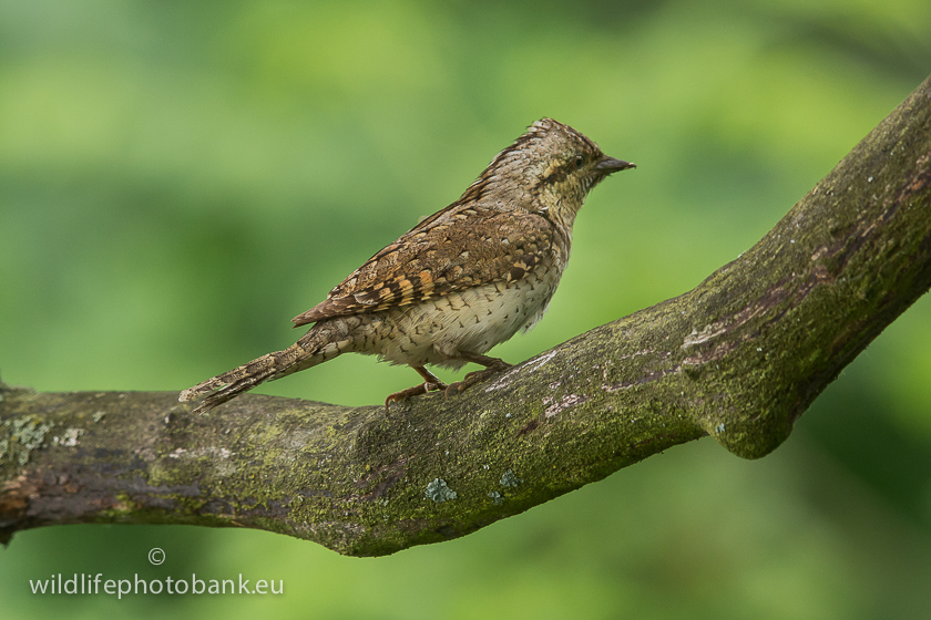 Woodpeckers and Allies - Wryneck (Jynx torquilla)