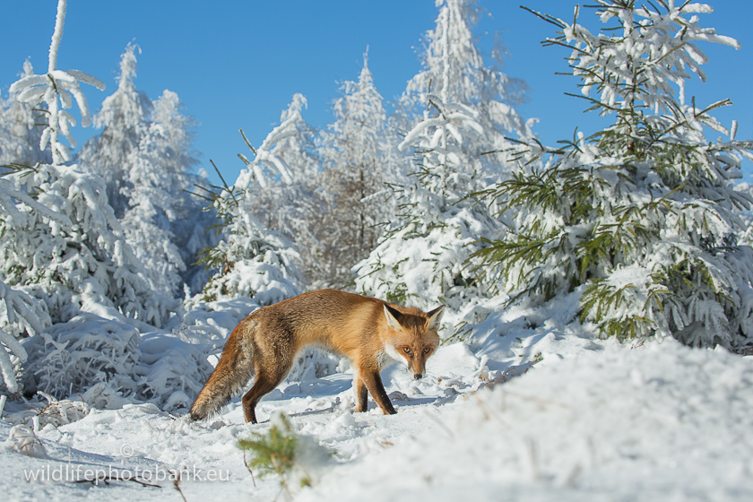Carnivora - Red Fox (Vulpes vulpes)