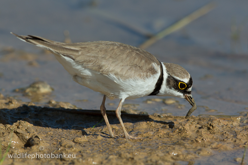 Waders - Little ringed (Charadrius dubius)