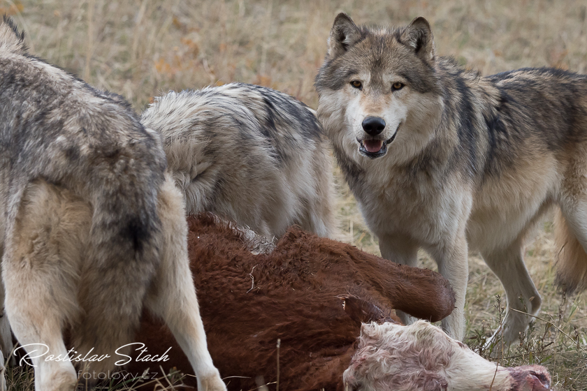 Carnivora - Mackenzie Valley Wolf (Canis lupus occidentalis)